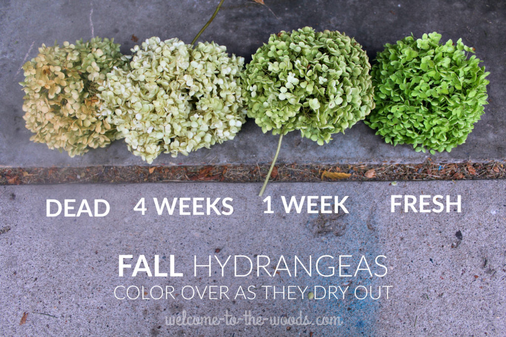 Guide to drying green hydrangea in the fall. They never die or decay if you dry them indoors!